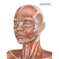 Plakatas mokomasis 3D žmogaus galva su raumenimis