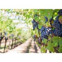 Plakatas Mėlynosios vynuogės
