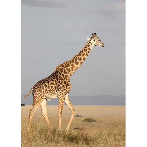 Plakatas Žirafa