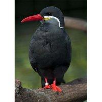 Plakatas Inca tern paukštis