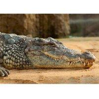 Plakatas Nilo krokodilas