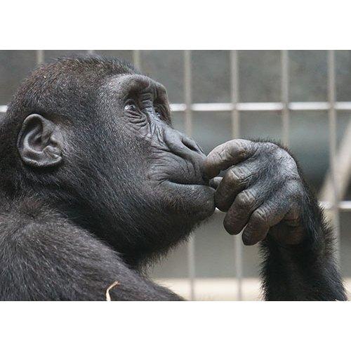 Plakatas Beždžionė