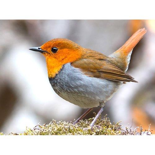 Plakatas Paukštis Liepsnelė
