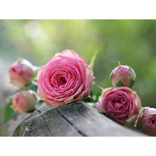Plakatas Rožės 001