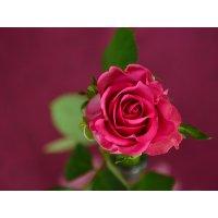 Plakatas Rožė 002