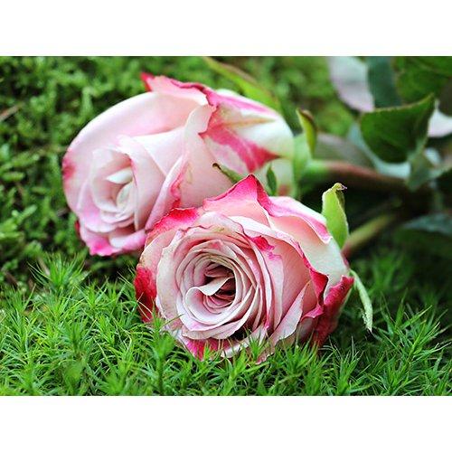 Plakatas Rožės 004