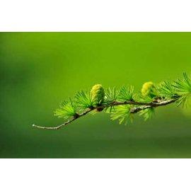 Fototapetas Žali kankorėžiukai ant šakos žaliame fone