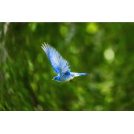 Fototapetas Skrendantis mėlynasis paukštis džiunglėse