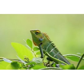 Fototapetas Žalias chameleonas