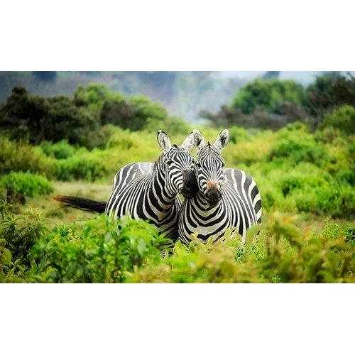 Fototapetas Laukinių zebrų pora