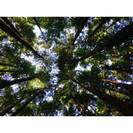 Fototapetai Miško medžių viršūnės