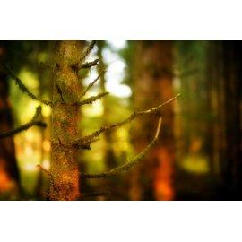 Fototapetai Samanos ant medžio šakų