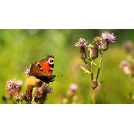 Fototapetai Drugelis tupintis ant gėlės