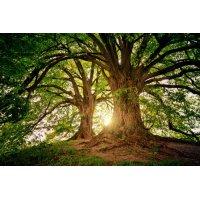 Fototapetai Du medžiai ant kalvos